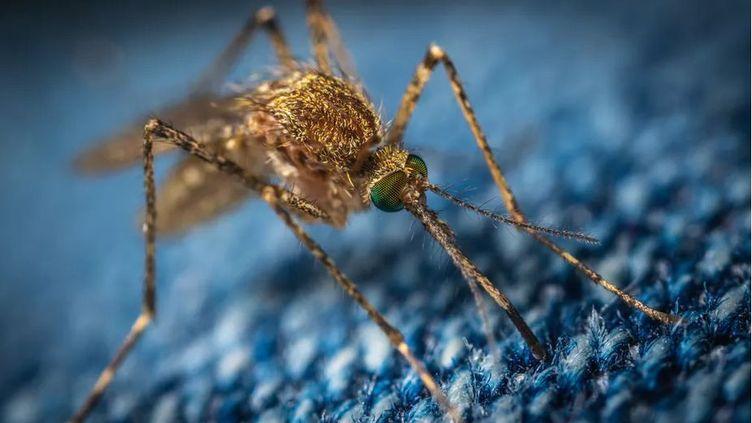 Les insectes tels que les moustiques (photo),les phlébotomes, qui leur ressemblent, ou les acariens (comme les tiques) peuvent transmettre des virus exotiques. (PIXABAY)