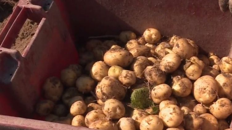 La bonnotte est un produit rare vénéré par les grands chefs. Cette pomme de terre est récoltée exclusivement à la main, sur l'île de Noirmoutier (Vendée). (CAPTURE ECRAN FRANCE 3)