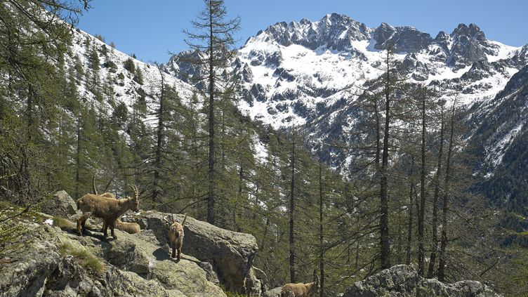 Dans le parc national du Mercantour (Alpes-Maritimes), le taux de césium 137, un élément radioactif, estparticulièrement élevé. (ROBERT VALARCHER / AFP)