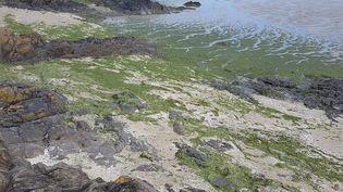 La justice va vérifier si les algues vertes, ici en juin 2016en baie de Saint-Brieuc, sont responsables de la mort d'un joggeur en septembre dernier (CYRIL FRIONNET/MAXPPP  / MAXPPP)