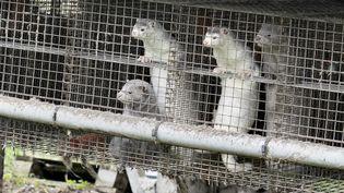 Des visons dans un élevage au Danemark. (HENNING BAGGER / RITZAU SCANPIX)