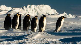 Des manchots empereurs avancent sur la banquise, le 5 janvier 2016, en Antarctique. (RIEHLE GUNTHER / SOLENT NEW / SIPA)