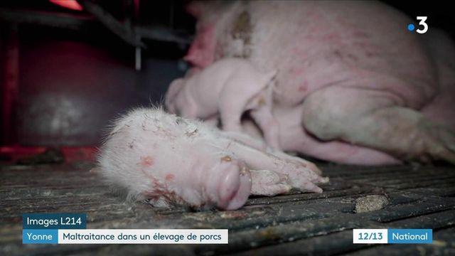Maltraitance animale : nouveau scandale dans un élevage de porcs de l'Yonne
