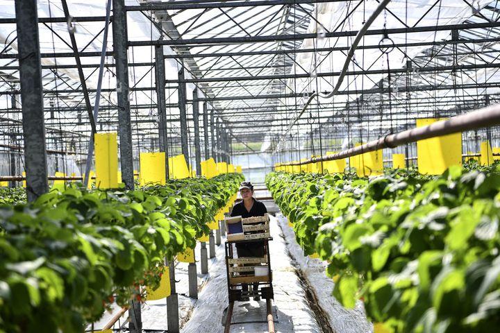 Un ouvrier agricole travaille dans un serre chez un fraisiculteur de Saint-Pryvé-Saint-Mesmin, près d'Orléans (Loiret), le 25 mars 2020. (CHRISTOPHE ARCHAMBAULT / AFP)