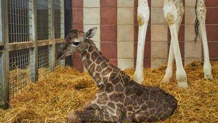 Le girafon Aurèle est né le 26 juillet 2017 au zoo de La Palmyre (Charente-Maritime). (F. Perroux / Zoo de La Palmyre)