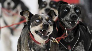 Des chiens de traineau lors de la Border Rush Race à Jakuszyce (Pologne), le 10 janvier 2013. (REUTERS)