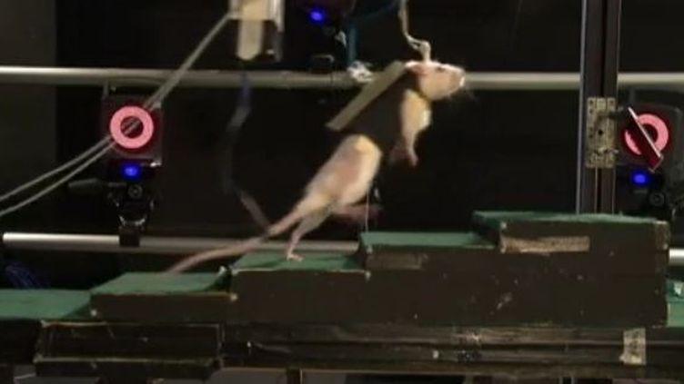 Des scientifiques rétablissent la mobilité des membres inférieurs d'un rat en réveillant la partie lésée de la moelle épinière, àZurich (Suisse). (EVN)