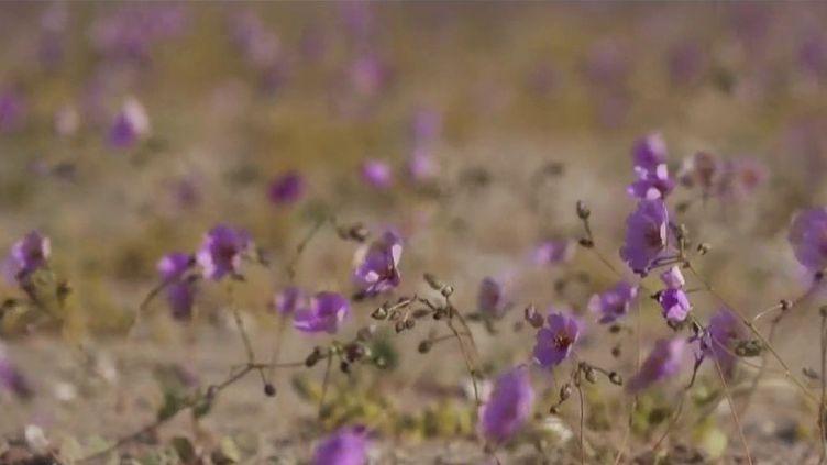 Amérique du Sud : le désert de l'Atacama, hôte de fleurs rares. (FRANCE 2)