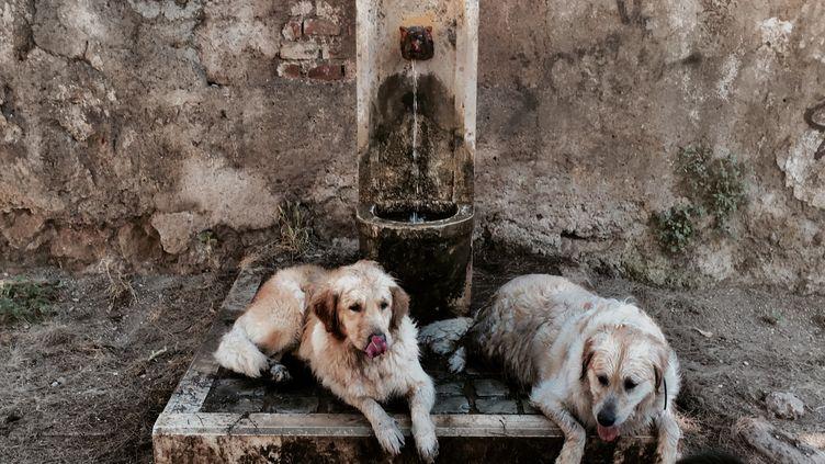 Des chiens se rafraîchissent près d'une fontaine publique lors d'une canicule estivale inhabituellement précoce, le 24 juin 2019 à Rome (Italie). (TIZIANA FABI / AFP)