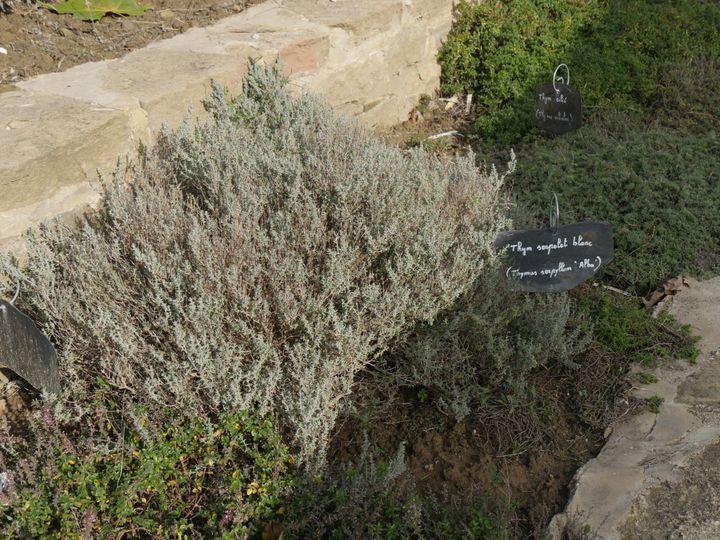 Les thyms sont des plantes aromatiques vivaces. On les plante à l'automne ou au printemps. (ISABELLE MORAND / RADIO FRANCE / FRANCE INFO)