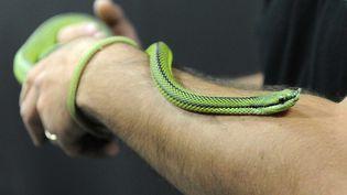 """Un serpent liane présenté àl'exposition """"Venenum, un monde empoisonné"""" au musée des Confluence à Lyon. (MAXPPP)"""