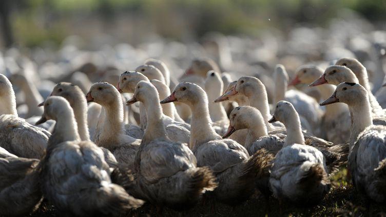 Illustration élevage canards dans les Landes. (IROZ GAIZKA / AFP)