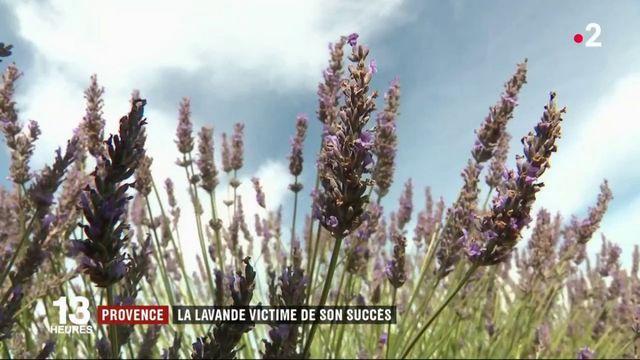 Provence : la lavande victime de son succès