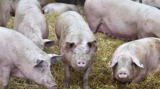 Des cochons dans une ferme à Pordic (Côtes-d'Armor), le 30 mars 2017. (LOIC VENANCE / AFP)