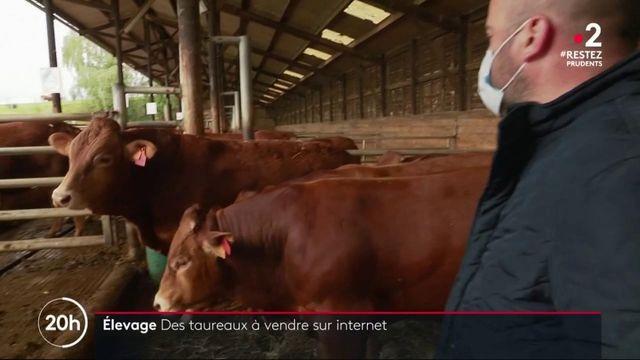 Élevage : des taureaux mis en vente aux enchères sur internet