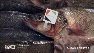 Dubaï : en plein désert, un élevage de poissons de rivière, de mer Méditerranée et du Pacifique (ENVOYÉ SPÉCIAL  / FRANCE 2)