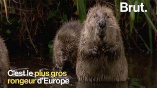 VIDEO. Bonne nouvelle : Le castor fait son retour (BRUT)