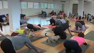 """Le """"cat yoga"""" permet des séances plus zen, grâce à la quiétude et la relaxation que provoquerait la présence des chats dans la salle. (FRANCE 3)"""