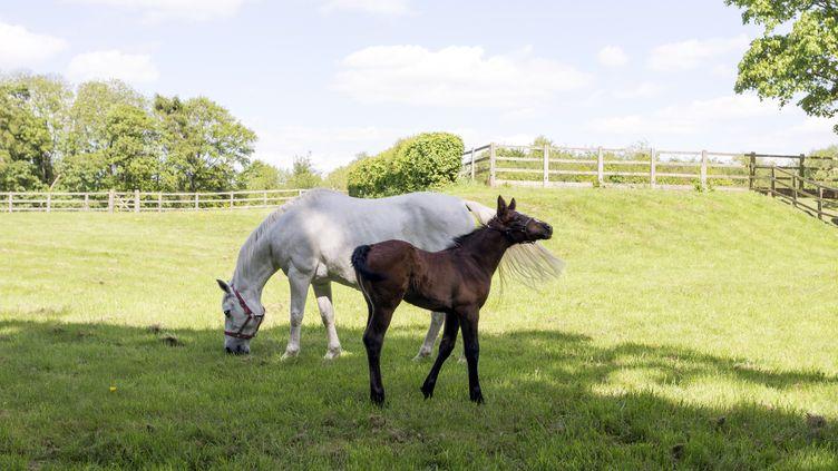 Des chevaux pâturent àBeaconsfield (Royaume-Uni), le 14 mai 2011. (MINT IMAGES / AFP)