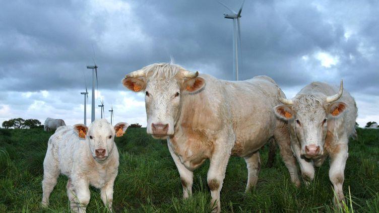 Des vaches charolaises (image d'illustration). (THIERRY CREUX / MAXPPP)