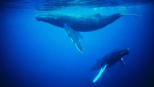 Des chercheurs affirment que les excréments de baleines permettent l'absorption de quantités considérables de CO2. (DIGITAL VISION / GETTY IMAGES)
