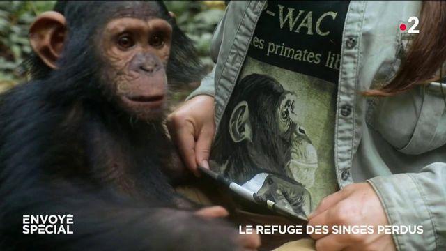 Envoyé spécial. Le refuge des singes perdus