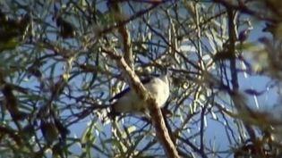 Le Tuit-tuit est un passereau menacé d'extinction. Les 40 couples de cette espèce se trouvent tous à La Réunion. (FRANCE 2)