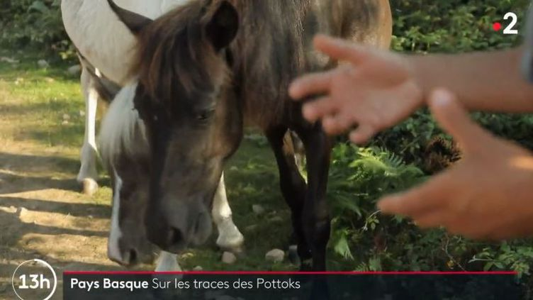 Le pottok est le cheval emblèmatique du Pays-Basque. (FRANCE 2)