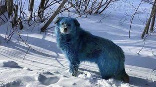 En Russie, une dizaine de chiens bleus ont été repérésà l'est de Moscou. Leur couleur pourrait être due à des matières chimiques. (CAPTURE ECRAN FRANCE 2)