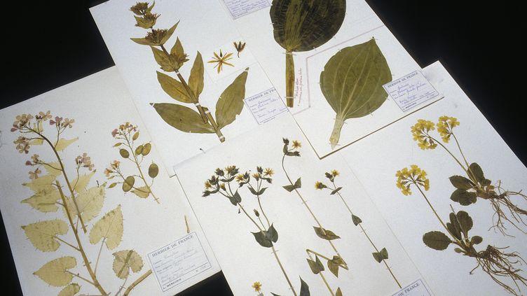 Herbier de plantes anciennes, conservé au Muséum d'histoire naturelle de Paris. (AFP)