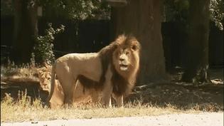 Deux lions regardent passer la tyrolienne du zoo de Thoiry (Yvelines), vendredi 21 juillet 2017. (FRANCEINFO)