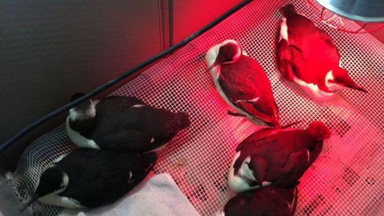 Des oiseaux recueillis à Languidic (Morbihan), après le passage des tempêtes Petra et Qumaira, en février 2014. (ERIC NEDJAR / FRANCE 3 BRETAGNE)