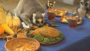 Capture d'écran des lémuriens qui mangent un repas de Thanksgiving, le 26 novembre 2014, dans le zoo de Brookfield (Illinois, Etats-Unis). (APTN)