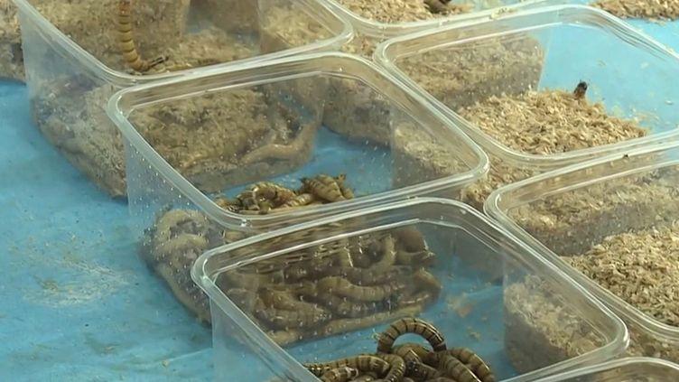 Oise : une entreprise produit des insectes destinés à nourrir les nouveaux animaux de compagnie (France 3)