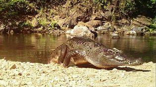 Un crocodile du Siam, sur une photo publiée par le Keng Krachan National Park (Thaïlande), le 23 janvier 2021. (HANDOUT / KAENG KRACHAN NATIONAL PARK / AFP)