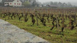 Pieds de vigne à Pommard (RADIO FRANCE / Philippe Reltien)