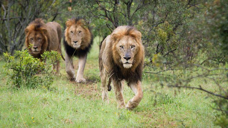 Des lions dans le parc national Kruger, en Afrique du Sud, le 12 décembre 2012. (LONDOLOZI IMAGES / MINT IMAGES / AFP)