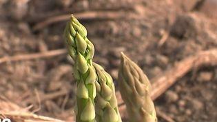 La récolte des asperges a repris (FRANCE 2)