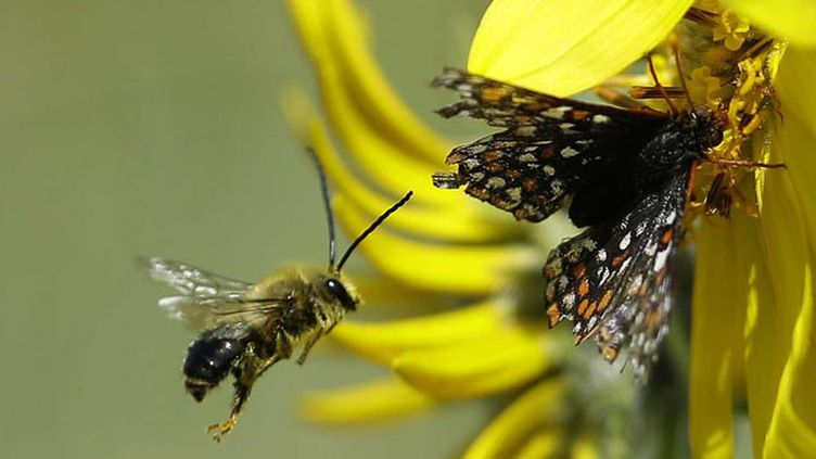 (En Europe, les populations d'abeilles et de papillons sont en chute libre © Ted S. Warren/AP/SIPA)