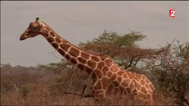 Girafes : risque d'extinction