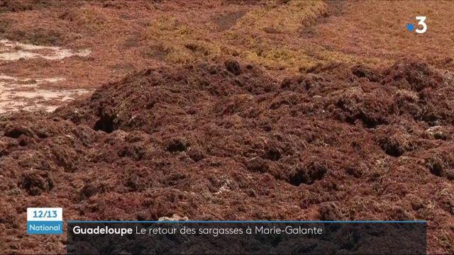 Guadeloupe : les sargasses sont de retour à Capesterre-de-Marie-Galante