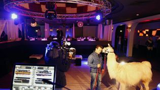 Sarge le lama, accompagné de son propriétaire, John Beautour, dans une boîte de nuit de Cannes (Alpes-Maritimes), le 22 novembre 2013. (VALERY HACHE / AFP)