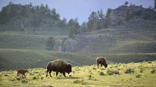 Des bisons dans le parc de Yellowstone (Etats-Unis), le 21 janvier 2014. (PATRICK KIENTZ / BIOSPHOTO / AFP)