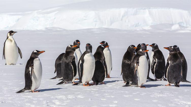 Des manchots empereurs, sur les îles Entreprises, près de l'Antarctique, le 2 décembre 2012.  (MICHAEL NOLAN / ROBERT HARDING PREMIUM / AFP)