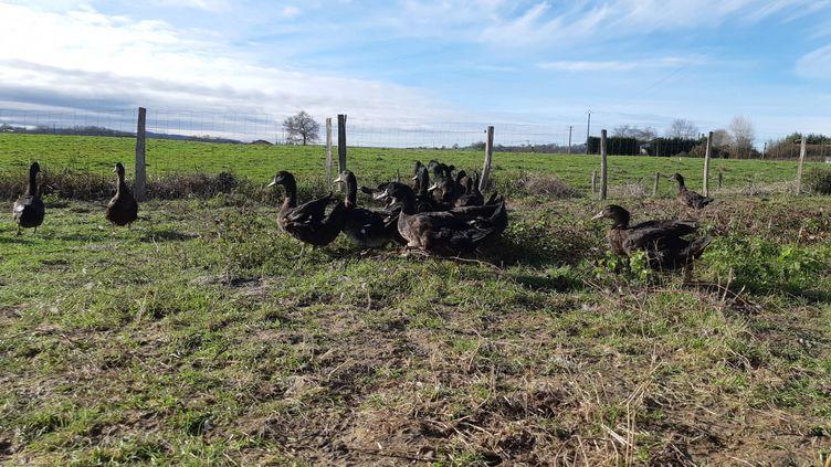 Un élevage de canards Kriaxera. (BIXENTE VRIGNON / RADIOFRANCE)