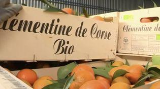 Des clémentines de Corse bio. (CAPTURE D'ÉCRAN FRANCE 3)