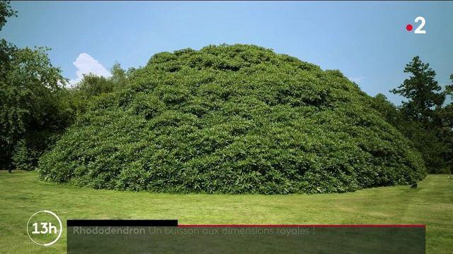 Angleterre : un rhododendron aux dimensions impressionnantes