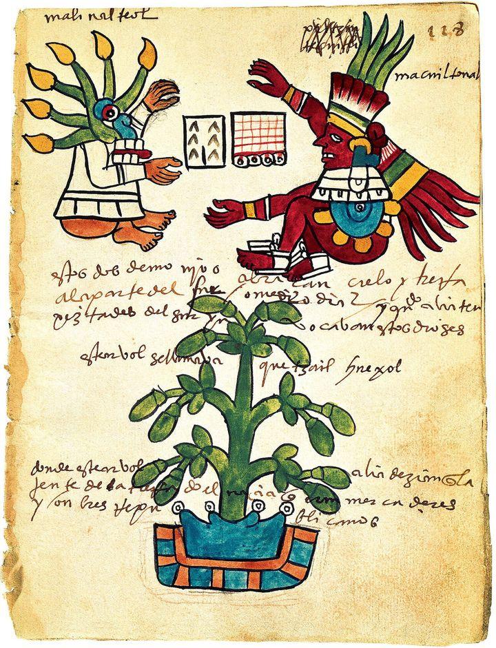 Cacaoyer du Codex Tudela (art précolombien, 1553), parchemin conservé au Musée des Amériques de Madrid. (FineArtImages/Leemage / AFP)
