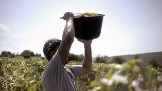 Un homme récolte des grappes qui serviront à la confection d'un crémant, près de Lugny (Saône-et-Loire), le 23 août 2011. (JEFF PACHOUD / AFP)