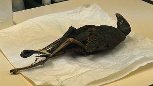 Des momies d'oiseaux à l'étude au musée des Confluences de Lyon (France 3 Aura)